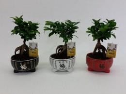 Bonsai Ficus micr. Ginseng in 'Lucky' Ceramic Pot