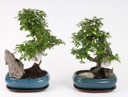 Bonsai Mix With Rock in 26cm Ceramic Pot & Saucer