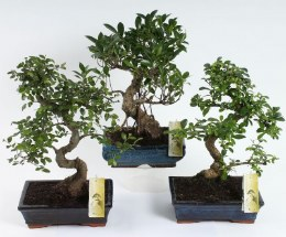 Bonsai mix in 25cm Ceramic Pot With Saucer 35-40cm Height