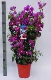Bougainvillea Alexandra Purple 70-75cm Tall