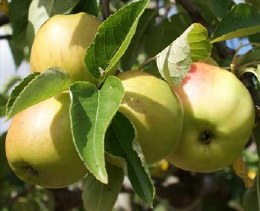 Apple 'Bramleys'