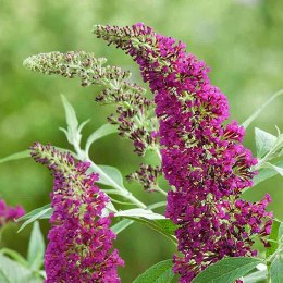 Buddleia Buzz Hot Raspberry