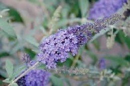 Buddleia Buzz Sky Blue