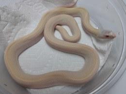 Bull Snake Albino Het Axanthic