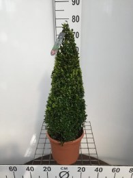 Buxus Sempervirens Ball 25cm or 50-60cm Pyramid in 5ltr Pot