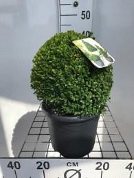 Buxus Semppervirens Ball 25cm