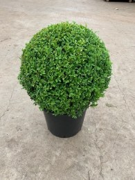 Buxus Sempervirens 40cm Ball