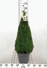Buxus Sempervirens Pyramid 70-80cm