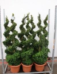 Buxus Semperivrens Spiral 125-130cm Tall