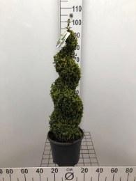 Buxus Semperivrens Spiral 70-80cm Tall
