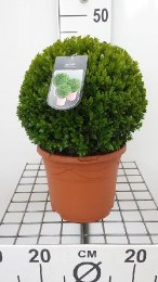Buxus Sempervirens Ball 25cm in 5 Litre Pot