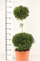 Buxus Sempervirens Duo Ball 90cm Tall