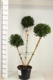 Buxus Sempervirens Pon pon 3 ball