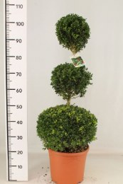 Buxus Sempervirens Trio Ball Shape Topiary 110cm Tall