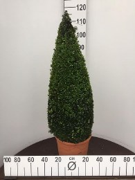 Buxus sempervirens Pyramid 80-90cm - Special Offer