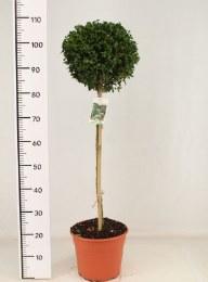 Buxus sem. 'Bullata' 25 cm ball on 60cm Stem