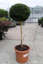 Buxus sempervirens 40cm C5