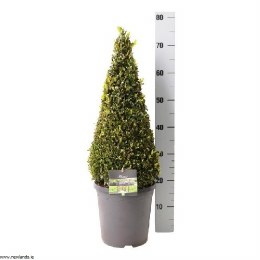 Buxus Sempervirens Pyramid Shape Topiary 50-60cm Tall