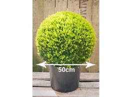 Buxus sempervirens 50cm Ball