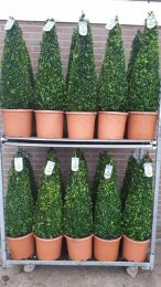 Buxus Sempervirens Pyramid 70-80cm Tall