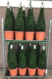 Buxus sempervirens Pyramid Shape Topiary 80-90cm Tall