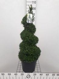 Buxus serpervirens 70-80cm Spiral 10 Litre