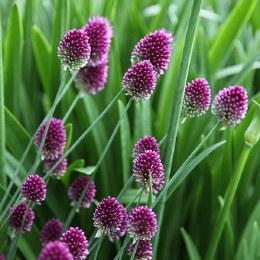 Allium Sphaerocephalon Bulbs | Drumstick Allium