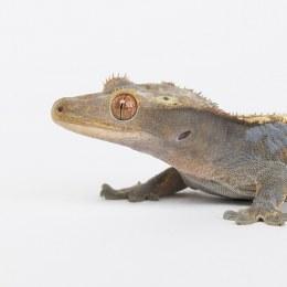 Gecko Crested 5-6cm