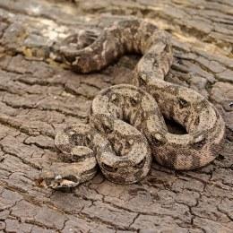 Boa Constrictor Crawl Cay