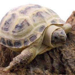 Tortoise Horsefields
