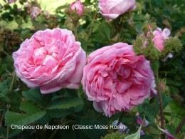 Chapeau Napoleon Climbing Rose - 5.5 Litre