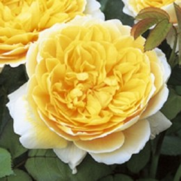 Charlotte Rose - David Austin Fragrant Rose