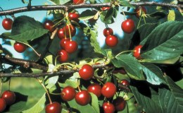 Morello Cherry 2 Year Bush - Self Fertile