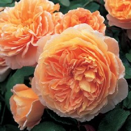 Crown Princess Margareta David Austin Rose - 4 Litre