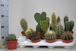 Cactus Mix Pot 10.5 cm