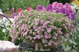 Calibrachoa Can Can Rosies Pink Vein 10cm