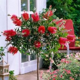 Bottlebrush masotti | Callistemon masotti P21 on a Stem in Bud/Flower