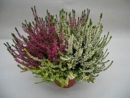 Calluna 'Twin Girls' in Flower