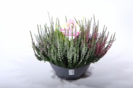 Calluna 'Beauty Ladies High Five' in Bowl Planter