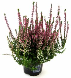 Calluna | Heather mix 9cm