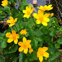 Caltha Palustris P9