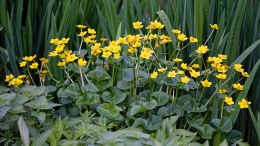Caltha palustris in 18cm Aquatic Basket