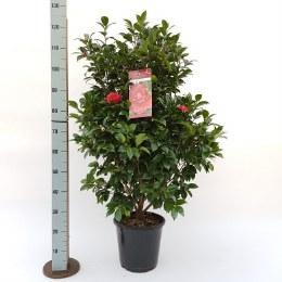 Camellia Blacklace 80-100cm Tall