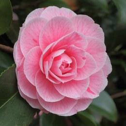 Camellia japonica. 'Bonomiana'