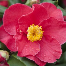 Camellia japonica Dr. King 60-80cm Tall 3 Litre