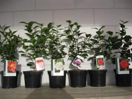 Camellia japonica mix 30-40cm Tall 3 Litre