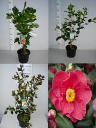 Camellia japonica mix 50-60cm Tall 3 Litre