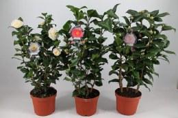 Camellia Mix 4 Litre