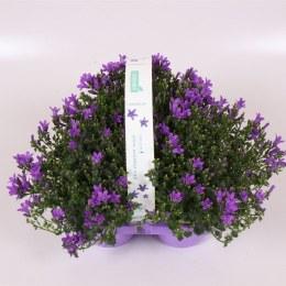 Campanula Ambella Intense Purple 3 Pack