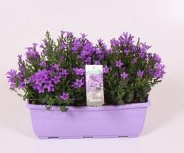Campanula Ambella Intense Purple 25cm Window box